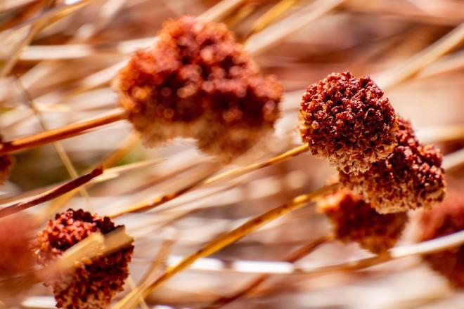 buckwheat-4497093_1920